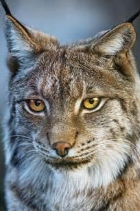 Pretty Lynx Animal