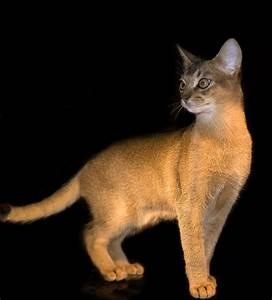 Katzen Fernhalten Von Möbeln : gyptische katze lebendig foto bild tiere ~ Michelbontemps.com Haus und Dekorationen