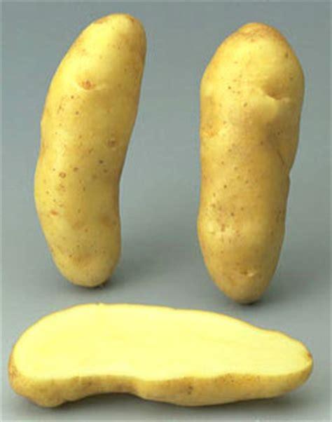 pomme de terre ratte vari 233 t 233 s de pomme de terre