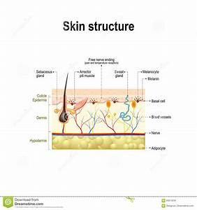 Human Skin Structure Stock Vector  Illustration Of Anatomy
