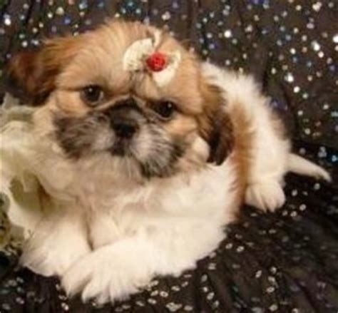 shinese dog breed information  pictures