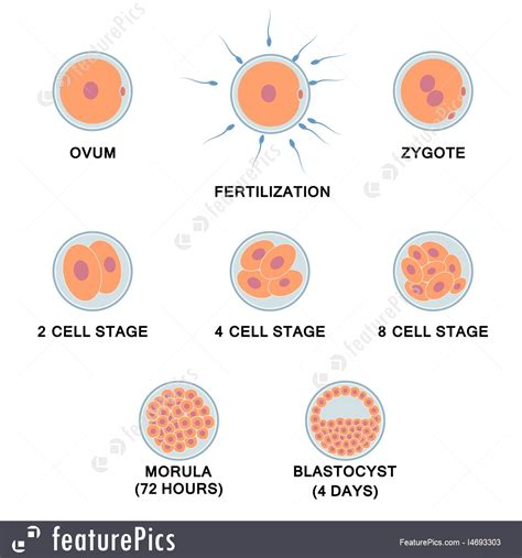 Illustration Of Development Of The Human Embryo