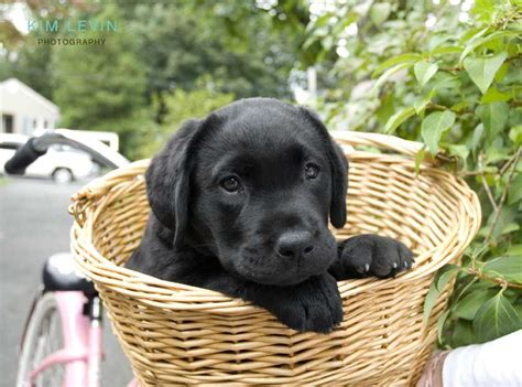 millie  black lab puppy  basket dogs pinterest