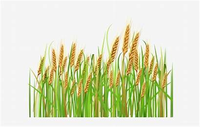 Wheat Crops Clipart Background Transparent Feild Nicepng