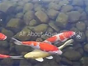 All About Aquarium Fish Achieving Natural Koi Growth