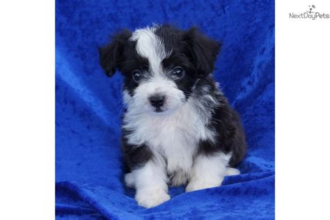 meet buddy  cute aussiedoodle puppy  sale