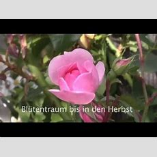 Rosenschnitt Praxistipps Von Lust Auf Garten Youtube