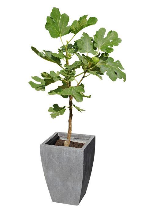 vaso per pianta 8 piante da frutto perfette per la coltivazione in vaso