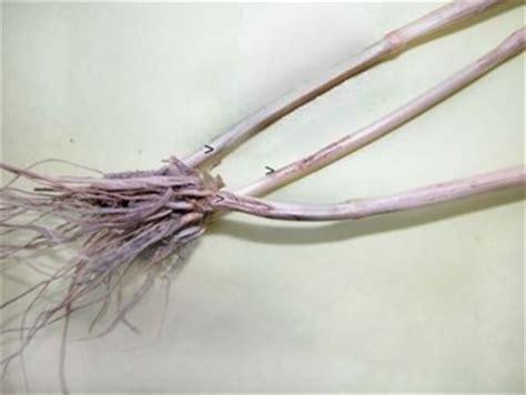 http://www.agroatlas.ru/en/content/diseases/Secalis/Secalis_Cercosporella_herpotrichoides/