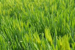 Barley Grass As Greens