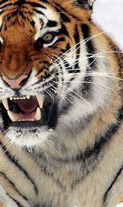 10 Most Popular Siberian Tiger Wallpaper Hd 1080P FULL HD ...