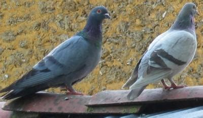 cuisiner une palombe pigeon palombe ramier bizet fiche pigeon palombe