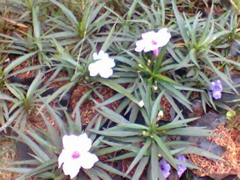 jual tanaman bunga ruellia mini tanaman hias bunga