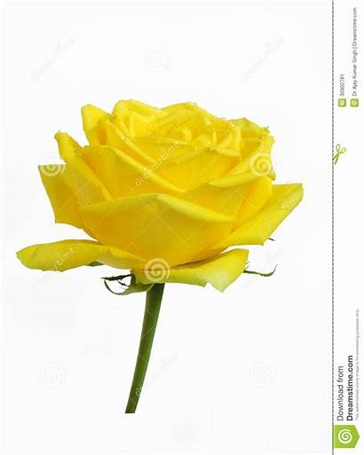 Rose Yellow Fresh Symbol