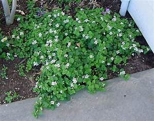 Ground cover Common Name(s) : Bacopa | Garden | Pinterest ...