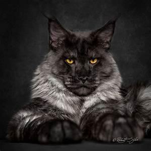 Die Schönsten Bastelideen : ein mann macht die sch nsten fotos von maine coon katzen solche hast du noch nie gesehen diy ~ Markanthonyermac.com Haus und Dekorationen