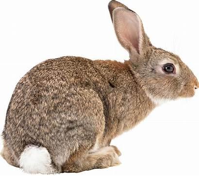 Rabbit Pngimg