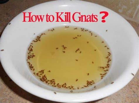 kill gnats