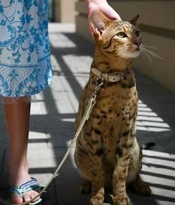 17 Best images about Savannah Cat on Pinterest | Cats ...