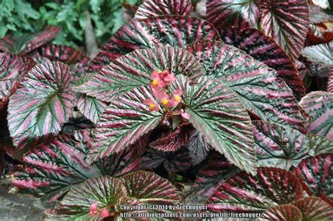 care of begonia plant begonia plant care begonia begonia elatior plant care itsfashion club
