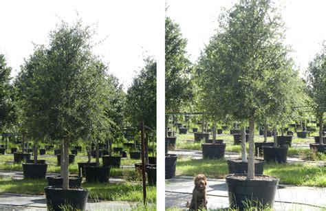 live oak trees for sale in dallas fannin tree farm