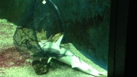 la mort d un requin 224 l aquarium dubuisson de li 232 ge