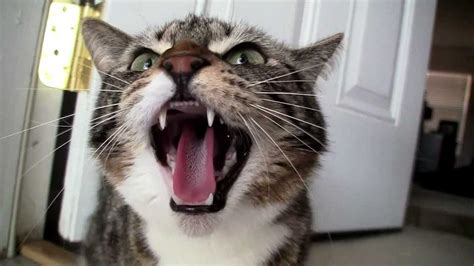 angry cats  angry cat compilation youtube
