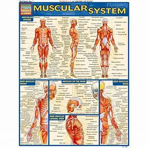 Muscular System Study Chart By Xump Com