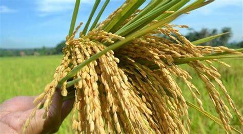 peluang usaha  desa jasa penggilingan padi dijamin
