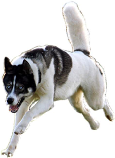 dog command   harmonious hounds