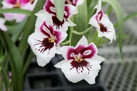 coltivare orchidee in vaso come coltivare le orchidee in vaso coltivazione orchidee