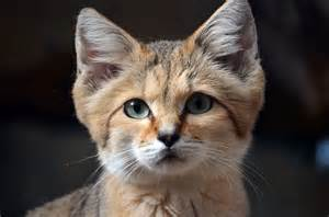 how are cats desert sand cats will look like kittens no matter how