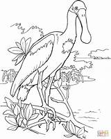 Spoonbill Roseate Coloring Bird Pages Clipart Printable Drawing Colouring Birds Supercoloring Clip Animal Adult Pink Easy Watercolor Printables sketch template