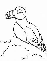 Puffin Coloring Pages Drawing Puffins Print Sheet Printable Literacy Atlantic Line Drawings Animals Clipart Animal Games Sample Lbx Getdrawings Popular sketch template