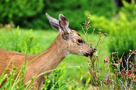 deer eat roses figuring    save  beloved