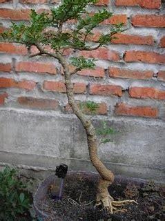 jual bonsai kawista kawis bonsai  pembuatan bonsai