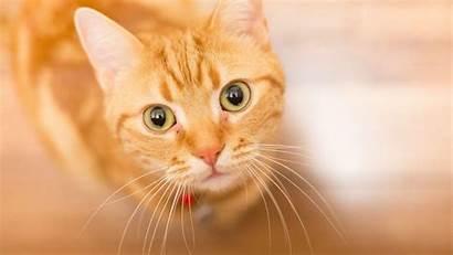 Cat Orange Wallpapers Cats