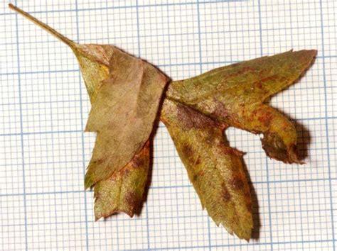 https://www.ukmoths.org.uk/species/phyllonorycter-corylifoliella/leafmine-4/