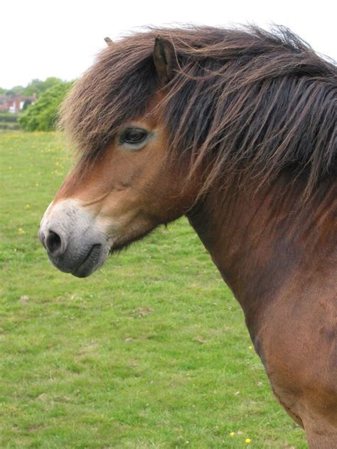pony exmoor horse ponies horses rare breeds types most breed mealy blackthorn native muzzle british equine fanpop education head characteristics