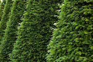 Bäume Schneiden Wann : s ulen hainbuche schneiden wann wie und wie oft ~ Lizthompson.info Haus und Dekorationen