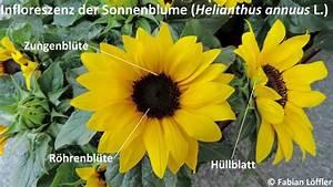 Aufbau Einer Blume : sonnenblume aufbau der bl te wissenswerte informationen zur blume ~ Whattoseeinmadrid.com Haus und Dekorationen