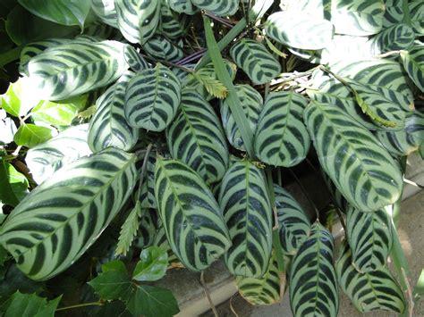 Orchid Nurseries by Maranta Leuconeura Prayer Plant A Fascinating Green World