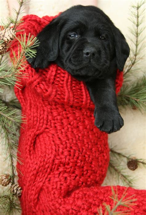 christmas puppy how i prayed for this for yrs or a puppy in a big box w a bow but it never