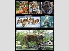 Meme kocak bikin ngakak si harimau lucu di Koramil