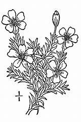 Moss Drawing Plant Campion Plants Silene Drawings Getdrawings Acaulis Usda Line sketch template