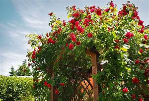 Wilde Triebe Rosen : der garten im fr hjahr jetzt ist es zeit ihre rosen zu ~ Lizthompson.info Haus und Dekorationen
