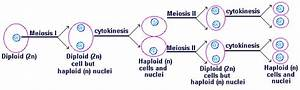 Student U0026 39 S Study Guide For Lesson Four Meiosis