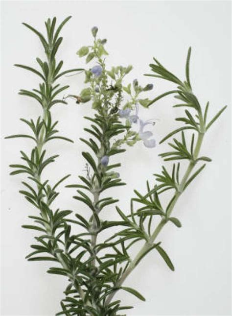 how to care for rosemary how to care for my rosemary tree houston chronicle
