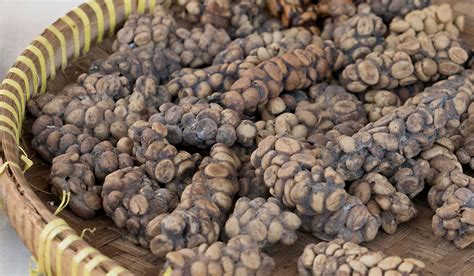 drinking cat poo cino  kopi luwak  local delicacy  bali
