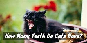 Dental Distinction  How Many Teeth Do Cats Have